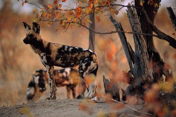 Nhung vu thu du tan cong nguoi dang so o so thu hinh anh 9 Đàn chó hoang châu Phi ở sở thú Pittsburgh (năm 2012): Chó hoang châu Phi có kích cỡ bằng chó nhà hạng trugn. Chúng đi săn theo đàn với bộ hàm khỏe mạnh để xé xác con mồi. Sáng ngày 4/11/2012, mẹ cậu bé Maddock Derkosh đặt cậu ngồi lên hàng rào ở khu trưng bày chó hoang châu Phi ở sở thú Pittsburgh. Không may, cậu bé ngã xuống lưới bảo vệ và sau đó văng vào khu chuồng nuôi. Lập tực có 3 con chó xông tới tấn công vào đầu và ngực cậu bé. Các nhận viên sở thú đã đuổi được gần hết chúng ra, nhưng có một con kiên quyết không nhả thi thể cậu bé và cảnh sát buộc phải nổ súng. Khám nghiệm tử thi cho thấy Maddock đã sống sót sau cú ngã nhưng bị những con chó hoang cắn chết.