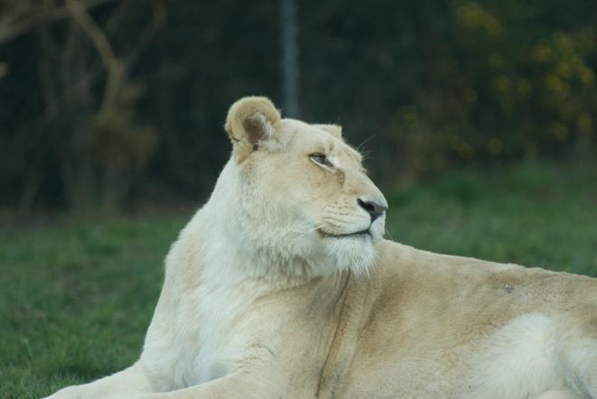 Nhung vu thu du tan cong nguoi dang so o so thu hinh anh 7 Con sư tử Nyanga (năm 2012):  Do thiếu người, nhân viên Joe Ramonetha  sau khi nghỉ hưu đã quay lại trang trại Parys Zoo, nơi sinh sản của các động vật thuộc vườn thú Johannesburg. Ông đang ở hành lang của một khu nuôi nhốt, nơi động vật thường không thể vào được, thì đụng độ một con sư tử cái tên Nyanga. Các nhân viên nghe thấy tiếng ông hét nhưng khi họ đến nơi thì đã quá trễ. Nyanga đã cắn vào cổ Ramonetha và giết chết ông. Sau đó Nyanga đã được đưa về một khu bảo tồn.