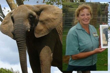 Nhung vu thu du tan cong nguoi dang so o so thu hinh anh 5 Con voi Mila (năm 2012): Mila là một chú voi châu Phi 39 tuổi từng dành 3 thập kỷ biểu diễn trong rạp xiếc. Nó đã ở sở thú Franklin, New Zealand, được 4 năm, nhưng đây chỉ là nơi ở tạm thời của Mila. Giám đốc sở thú, Helen Schofield, đã lên kế hoạch đưa nó tới một khu bảo tồn ở California. Tuy nhiên do hậu quả của những tổn thương tâm lý khi ở rạp xiếc (nơi voi thường bị ngược đãi), Mila đã bóp chết Schofield bằng vòi.