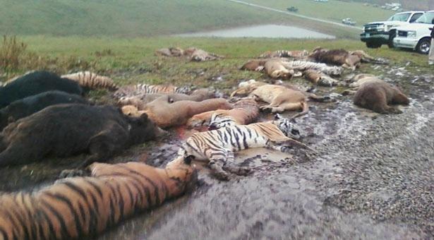 Nhung vu thu du tan cong nguoi dang so o so thu hinh anh 10 Vụ việc ở Zanesville (năm 2011): Ông Terry Thompson, 61 tuổi, là một cựu binh với sở thích nuôi các loài vật hoang dã. Ông đã nuôi một bầy thú tại tư gia ở  Zanesville, Ohio. Ngày 18/10/2011, Thompson đã thả hàng chục con thú ra và sau đó bắn vào đầu tự sát. Hàng xóm của ông đã nhanh chóng báo cảnh sát sau khi thấy một con gấu và một con sư tử rình rập bên ngoài. Cảnh sát tới nơi và phát hiện thi thể của Thompson đang bị một con hổ trắng nhai sống. Sau đó cảnh sát đã buộc phải dùng hỏa lực để săn tìm những con thú dữ được thả ra. Nguy hiểm nhất là những con hổ, chúng nấp trong bụi rậm và tấn công ngay cả khi đã trúng đạn. Tổng cộng có 2 con sói, 2 con gấu xám, 18 con hổ, 17 con sư tử, 6 con gấu đen, 3 con sư tử núi và 2 con khỉ đã bị bắn hạ.