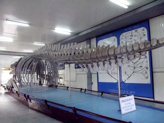 Tham bao tang sinh vat bien lon nhat Viet Nam hinh anh 7 Bộ xương cá voi lưng gù được trưng bày tại viện.