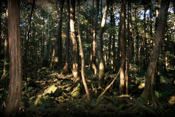"""Nhung dieu la lung o Nhat Ban (phan 2) hinh anh 4 Khu rừng tự sát đáng sợ: Với phần lớn chúng ta, rừng là nơi ta chạy bộ, đi dạo, ngắm muông thú hoặc thư giãn theo một cách nào đó. Tuy nhiên, điều đó không phải lúc nào cũng đúng. Rừng Aokigahara, hay còn được gọi là """"rừng tự sát"""", rộng khoảng 10 km2 nằm ở chân núi Phú Sĩ tại Nhật. Tán rừng rậm rạp tới mức gần như chắn hết gió, tạo ra một không gian tĩnh lặng và âm u. Vì một lý do nào đó mà nơi này đã trở thành địa điểm diễn ra hàng trăm vụ tự sát."""