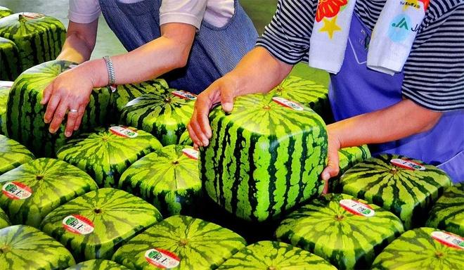 Nhung dieu la lung o Nhat Ban (phan 3) hinh anh 1 Dưa hấu vuông: Hoa quả là một mặt hàng xa xỉ ở Nhật Bản với chất lượng tuyệt hảo và sự cầu kỳ trong quá trình sản xuất. Các nông dân Nhật thích trồng dưa hấu vuông hơn vì dễ bảo quản, tiết kiệm không gian dự trữ, thuận tiện cho khách hàng sử dụng và được giá hơn.