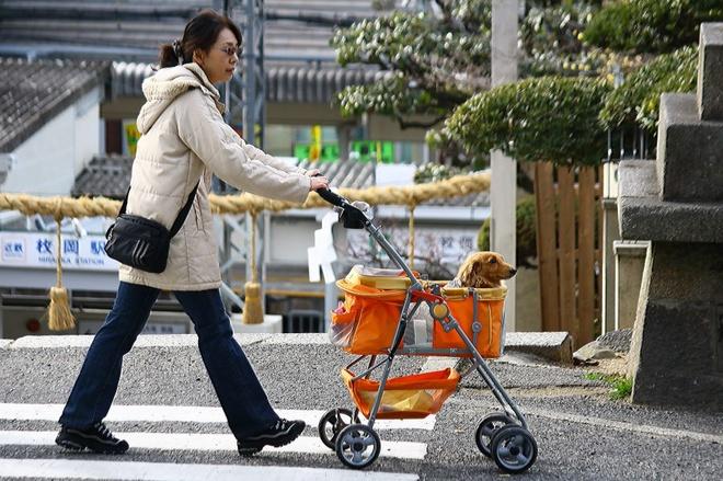 Nhung dieu la lung o Nhat Ban (phan 3) hinh anh 7 Văn hóa thú cưng: Ở Nhật, số thú cưng còn nhiều hơn số trẻ em dưới 15 tuổi. Người Nhật rất yêu quý thú nuôi của mình, thậm chí nhiều người coi chúng như con cái. Do đó không có gì lạ khi bạn bắt gặp những chú cún được mặc váy, quần jean, đi giày và thậm chí là đeo kính râm. Việc các con thú cưng được ngồi trong xe nôi cũng là chuyện thường ngày ở Nhật.