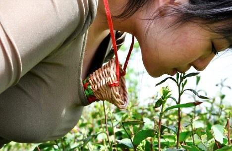 Trà trinh nữ: Đồn điền trà Jiuhua ở tỉnh Hà Nam thuê các trinh nữ có vòng ngực từ 90 cm trở lên để hái trà bằng miệng sau đó thả vào giỏ đeo trên ngực. Các cô gái không được chạm vào lá trà hay chiếc giỏ bằng tay và trên người không được có sẹo hay vết thương nào. Theo truyền thuyết, loại trà này thấm đẫm sự tinh khiết của các trinh nữ và sẽ đem lại hương vị đặc biệt cho người thưởng thức.