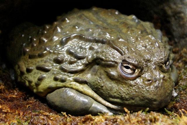 Nhung mon dac san co the gay chet nguoi hinh anh 6 Ếch bò khổng lồ (Namibia): Có thể nói lý do người Pháp thích ăn đùi ếch, chỉ phần đùi thôi, là các phần còn lại của con ếch (đặc biệt là da và nội tạng) đều có thể chứa độc. Tuy nhiên, thịt ếch được coi là món đặc sản ở Namibia. Người dân nơi đây cho rằng khi ăn thịt ếch sau mùa giao phối thì lượng độc đã giảm đi rất nhiều. Nếu không may ăn phải phần chứa độc, bạn có thể sẽ mắc Oshiketakata, một chứng bệnh tạm thời về thận, cần chăm sóc y tế ngay lập tức. Một số trường hợp không được cấp cứu kịp thời đã tử vong.