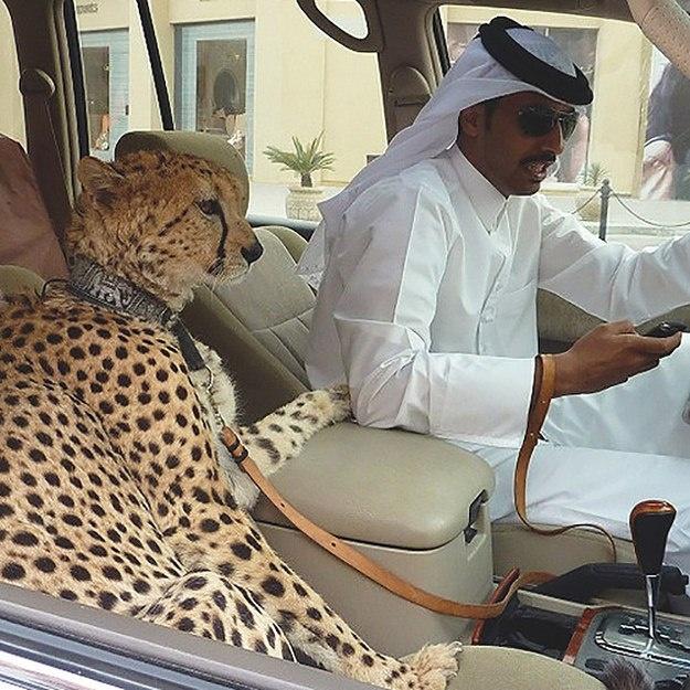 2. Thú dữ là vật nuôi thể hiện đẳng cấp: Đây là nơi duy nhất trên thế giới bạn có thể thấy cảnh những con sư tử, báo, hổ ngồi ngoan ngoãn trong những chiếc siêu xe sang trọng. Việc sở hữu một con thú cưng loại này thể hiện đẳng cấp ở Dubai.