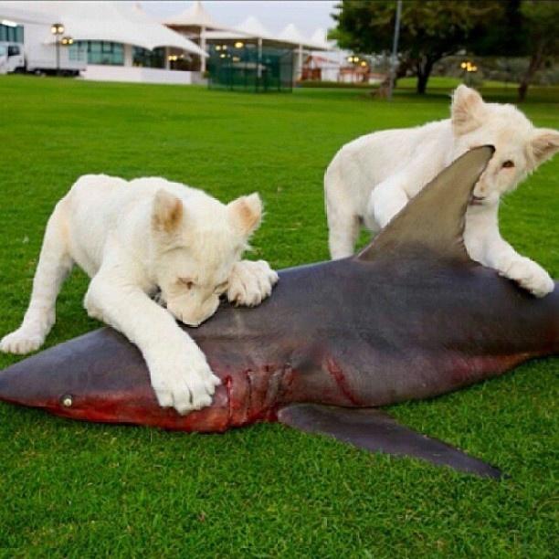 Mua cá mập cho sư tử ăn: Tất nhiên những con thú cưng đắt tiền này cũng được sống trong xa hoa, thậm chí còn được ăn cả... cá mập.