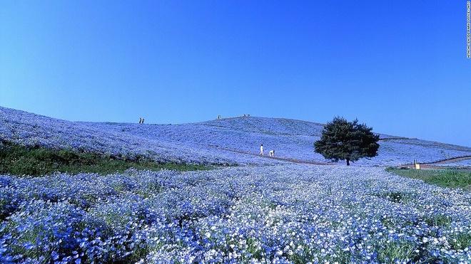 Nhung canh dep me hon o Nhat Ban hinh anh 10 Công viên Hitachi Seaside (Ibaraki): Hơn 4 triệu bông hoa Nemophila bừng nở từ cuối tháng 4 tới tháng 5 ở công viên Hitachi Seaside nằm trên đồi Miharashi tạo ra khung cảnh lãng mạn có một không hai trên thế giới.