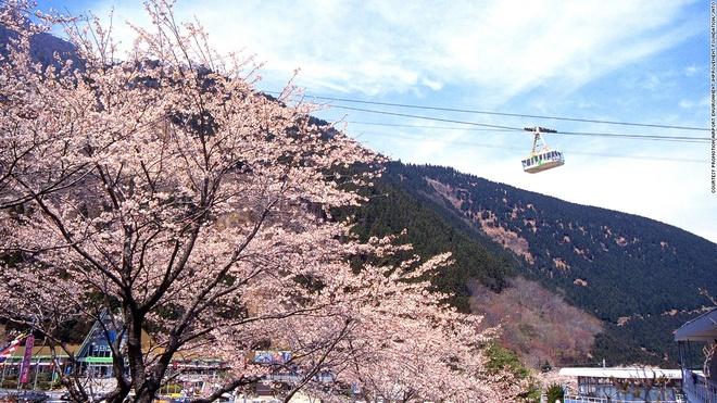 Nhung canh dep me hon o Nhat Ban hinh anh 6 Cáp treo Kintetsu Beppu (Oita): Tuyến cáp treo này có thể đưa 101 hành khách lên đỉnh núi Tsurumi ở độ cao 1.375 m trong 10 phút. Vào mùa xuân, từ trên đỉnh núi, du khách có thể chiêm ngưỡng khung cảnh lộng lẫy khi hơn 2.000 cây anh đào nở hoa.