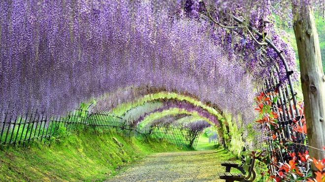 Nhung canh dep me hon o Nhat Ban hinh anh 1 Vườn hoa Kawachi Fuji (Fukuoka) : Hành lang với vòm cây đan cài đem lại cho du khách cảm giác bình yên, tĩnh tại. Vườn có hơn 150 cây tử đằng thuộc 20 loại khác nhau. Lễ hội hoa tử đằng được tổ chức vào cuối tháng 4 hàng năm, khi hoa nở rực rỡ nhất.