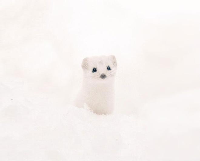 7 loai vat de thuong hut hon du khach o dao Hokkaido hinh anh 11 Iizuna: Loài triết bụng trắng này thuộc một phân loài thích hợp với khí hậu của Hokkaido, Siberia và miền bắc Scandinavia. Không như các loài triết bụng trắng khác, vào mùa đông lông của Iizuna chuyển sang màu trắng để ngụy trang.