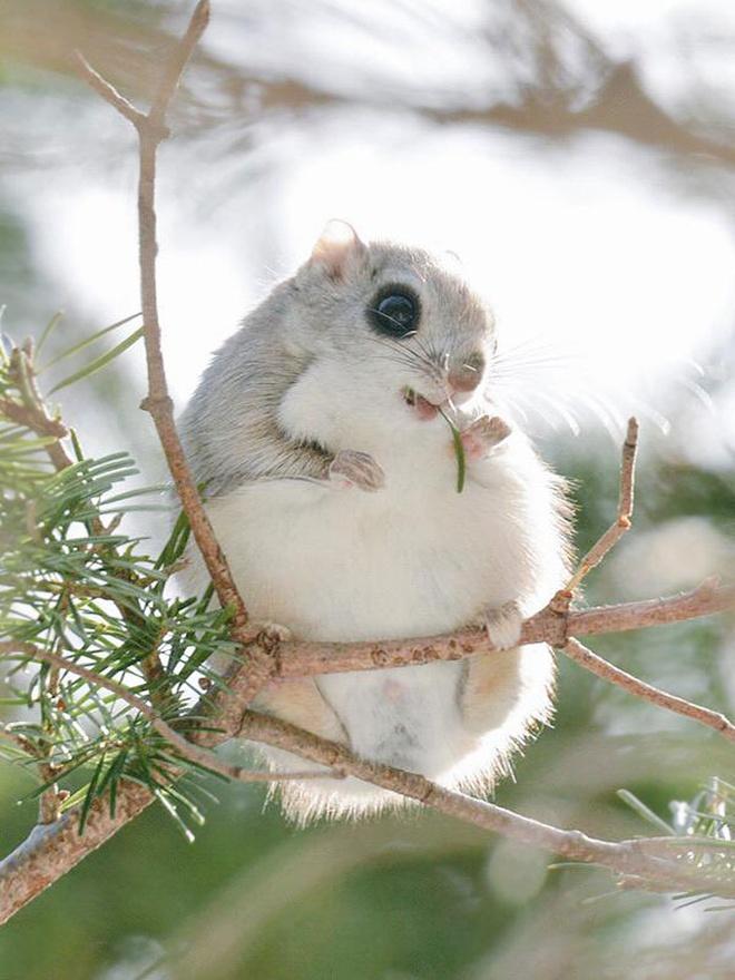 Ezo Momonga: Loài sóc bay đáng yêu này là động vật đặc hữu của Hokkaido.