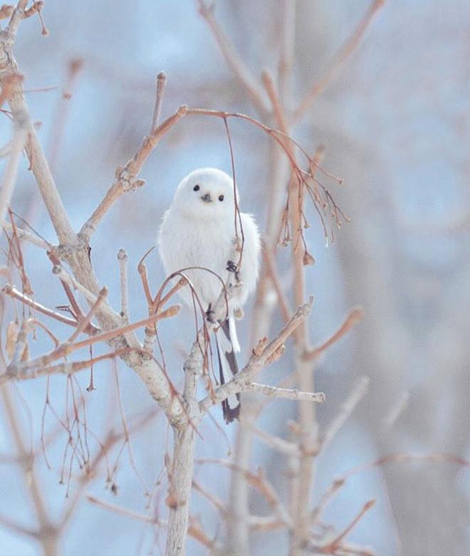 7 loai vat de thuong hut hon du khach o dao Hokkaido hinh anh 4 Shima-Enaga: Shima-Enaga là một loài chim sẻ ngô đuôi dài đặc hữu của Hokkaido. Không như các loài chim sẻ ngô đuôi dài khác ở Nhật, Shima-Enaga không có vệt màu nâu giống như lông mày trên mặt.