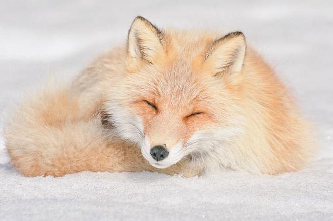 Cáo đỏ Hokkaido: Đây là một phân loài của cáo đỏ thường. Vẻ đáng yêu, thông minh và linh lợi của chúng khiến du khách không thể rời mắt.