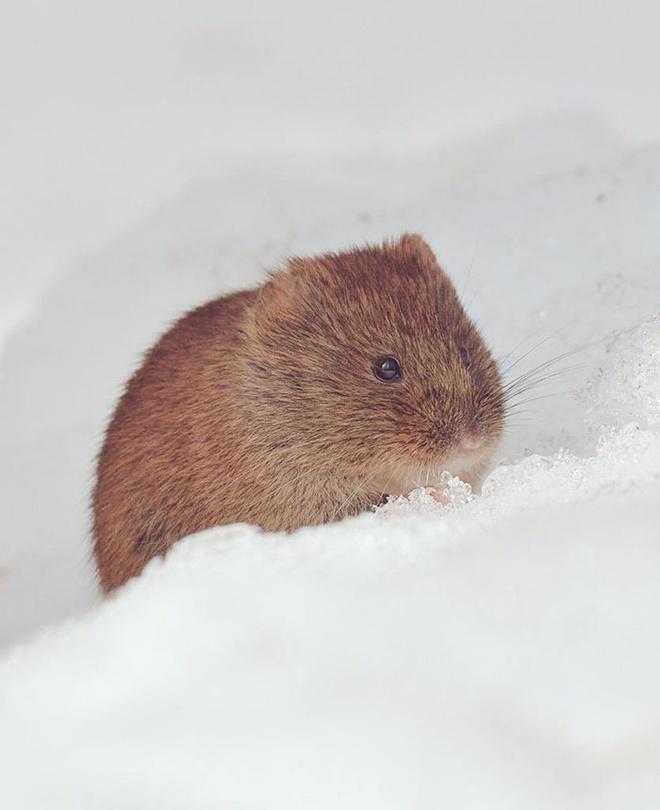 Ezo Naki Usagi: Loài chuột nâu Hokkaido (Ezo Naki Usagi) là phân loài địa phương của Northern Pika, một loài gặm nhấm dễ thương sống ở miền bắc Nhật Bản và các vùng phía bác châu Á.