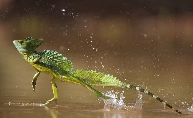 Nhung dieu ky la trong rung Amazon hinh anh 1 Thằn lằn Jesus: Nhìn ảnh bạn sẽ dễ dàng nhận ra vì sao loài thằn lằn này lại có tên như thế. Thằn lằn Jesus có khả năng đi (đúng hơn là chạy) trên mặt nước.