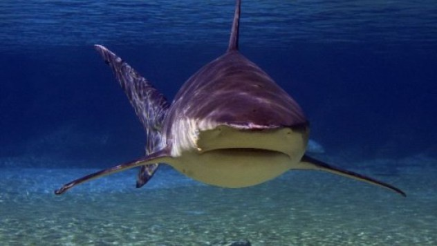 Nhung dieu ky la trong rung Amazon hinh anh 13 Cá mập bò: Thật bất ngờ nhưng ở nơi cách xa biển tới 4.000 km này lại có cá mập bò, một loài cá nước mặn. Thận của chúng có khả năng thích ứng với độ mặn của môi trường xung quanh.