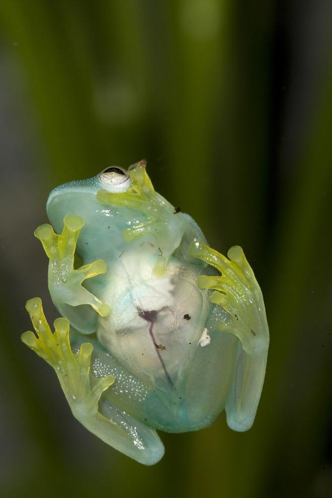 Nhung dieu ky la trong rung Amazon hinh anh 5 Ếch thủy tinh: Nếu ở lâu trong rừng Amazon, bạn sẽ gặp rất nhiều loại ếch kỳ lạ, một số rực rỡ sắc màu, một số có khả năng ngụy trang và rất nhiều loại rất độc. Tuyệt nhất trong số đó là ếch thủy tinh, da của chúng hoàn toàn trong suốt và bạn có thể nhìn thấy các cơ quan nội tạng.