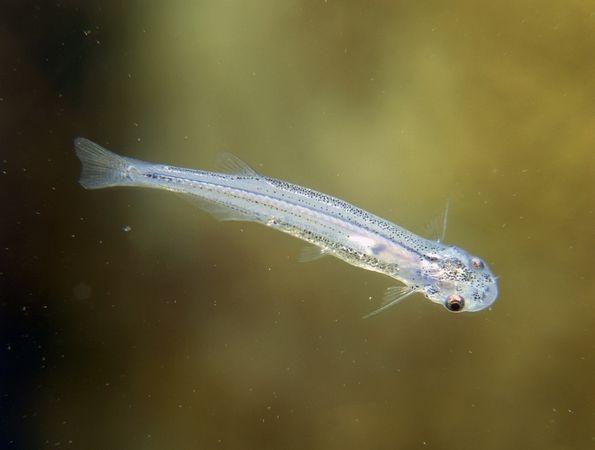 Nhung dieu ky la trong rung Amazon hinh anh 7 Cá Candiru: Loài cá nhỏ bé tưởng chừng như vô hại này lại là một trong những ký sinh trùng đáng sợ nhất hành tinh. Cá Candiru rất thích nước tiểu người và đã có nhiều trường hợp chúng chui vào cơ quan sinh dục của con người, gây đau đớn khủng khiếp. Tuy nhiên, thường thì vật chủ của chúng là các loài cá khác. Chúng bám vào mang con cá và sống bằng cách hút máu vật chủ.
