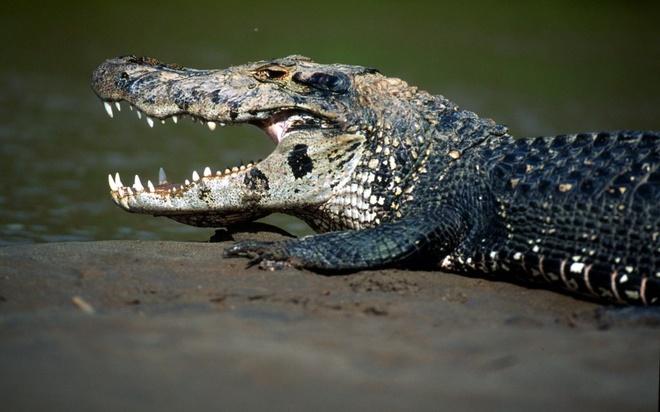 Nhung dong vat dang so nhat rung Amazon hinh anh 1 Cá sấu Caiman đen: Loài cá sấu sống ở sông Amazon này có chiều dài lên tới 6 m và cân nặng 300 kg. Chúng có thể săn khỉ, hươu và thậm chí cả trăn Nam Mỹ.  Ngoài khả năng rình mồi và lớp ngụy trang hoàn hảo, cá sấu Black Caiman còn có lực hàm cực mạnh. Chúng thường đớp sau đó lôi con mồi xuống nước, lộn tròn để xé xác mồi. Năm 2010, nhà sinh vật học Deise Nishimura bị con cá sấu ẩn dưới thuyền hàng tháng trời tấn công. Cô đã may mắn thoát chết nhưng mất một chân.
