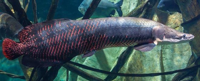 Nhung dong vat dang so nhat rung Amazon hinh anh 3 Cá Arapaima: Là một sinh vật khổng lồ khác của Amazon, cá Arapaima có thể dài tới 2 m, nặng tới 100 kg với lớp vảy dày và cứng để chống lại kẻ thù. Chúng sống được ở những vùng có cá piranha mà không hề hấn gì.  Khi tấn công, Arapaima thường lao thẳng tới kẻ địch. Chúng có thể làm lật thuyền và khiến con người bị thương nặng. Năm 2002, phóng viên truyền hình Jeremy Wade đã bị một con tấn công gây thương tích nghiêm trọng.