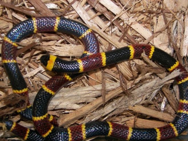 """Nhung dong vat dang so nhat rung Amazon hinh anh 4 Rắn san hô: Quy tắc """"Đỏ và vàng có thể giết chết người. Đen và đỏ là bạn tử thần"""" có thể áp dụng với một số loài rắn ở Bắc Mỹ, nhưng ở Amazon thì không. Nhiều loại rắn san hô có màu trung tính và dễ dàng hòa lẫn với môi trường xung quanh. Loài rắn này thường tránh xa con người, nhưng nếu bị dẫm phải hay đánh động, chúng sẽ tấn công. Nọc của chúng có chứa chất độc thần kinh khiến bạn ngừng thở và mất mạng trong vòng vài tiếng đồng hồ."""