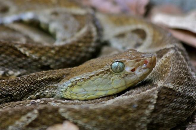 """Nhung dong vat dang so nhat rung Amazon hinh anh 5 Rắn Fer-de-lance: Loài rắn này có thể vô cớ tấn công với nọc độc gây nôn, bất tỉnh, thối cơ, chảy máu trong, thậm chí là mất trí nhớ tạm thời hay vĩnh viễn. Người địa phương gọi chúng là """"rắn ba bước"""", nghĩa là bị cắn thì chỉ đi ba bước là chết. Dù có tầm tấn công hẹp, Fer-de-lance di chuyển nhanh hơn mắt thường có thể nhìn thấy. Ngay cả cầy mangut, loài nổi tiếng với khả năng săn rắn hổ mang chúa, cũng chỉ có cơ hội sống sót 50-50 khi đối mặt với loài rắn này."""