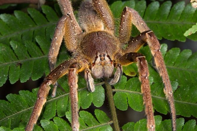 Nhung dong vat dang so nhat rung Amazon hinh anh 7 Nhện Brazilian Wandering Brazil:  Loài nhện độc nhất thế giới này là loài đặc hữu của Amazon và sẽ tấn công người nếu bị kích động. Nọc của chúng gây mất kiểm soát cơ và ngạt thở. Chúng không chăng tơ hay làm tổ mà chỉ lang thang khắp nơi, trú ở những nơi mát mẻ vào ban ngày và di chuyển trên mặt đất vào ban đêm. Ngoài ra, vết cắn của chúng còn dẫn tới tình trạng cương cứng suốt 4 tiếng ở nam giới.