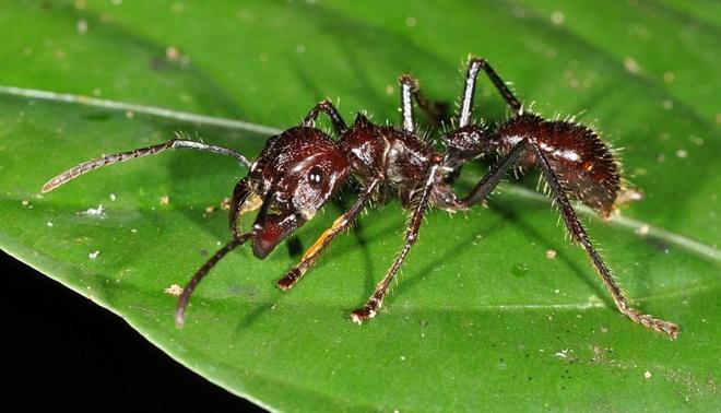 """Nhung dong vat dang so nhat rung Amazon hinh anh 8 Kiến đầu đạn: Người khổng lồ trong thế giới loài kiến này có thể dài tới 2,5 cm, với ngoại hình khá đáng sợ và dữ dằn. Chúng khá hiền lành nhưng không ngần ngại tấn công nếu bị kích động. Từ tổ trên cây, chúng thả người xuống và cắn nạn nhân. Vết cắn của chúng được mô tả là """"như đi trên than hồng với đinh cắm trong gót chân"""" và cơn đau sẽ kéo dài tới 24 tiếng. Bạn sẽ mất mạng nếu bị sốc phản vệ, còn thường thì sẽ chỉ bị nôn và tê liệt tạm thời. Điều đáng sợ là một con có thể cắn nhiều lần một giây và sẽ tiết ra một chất khiến những con khác tấn công nạn nhân."""