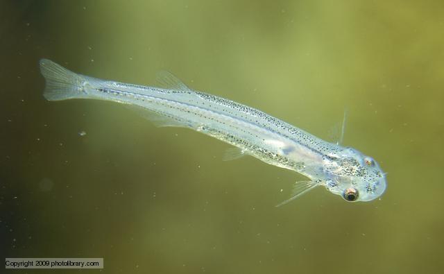 Nhung dong vat dang so nhat rung Amazon (phan 2) hinh anh 2 Cá Candiru: Các sinh vật nhỏ bé ở Amazon cũng đáng sợ không kém. Cá Candiru là một giống ký sinh sống trong mang các loài cá lớn. Chúng bị hấp dẫn bởi mùi nước tiểu và đã có trường hợp nam giới phải làm phẫu thuật để lấy chúng ra khỏi niệu đạo. Do đó, hãy thận trọng nếu bạn có ý định xuống tắm ở khu vực Amazon.