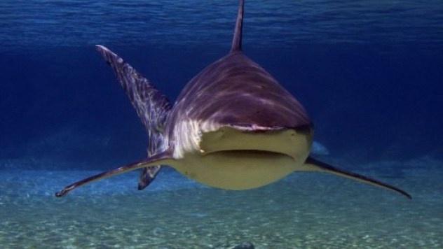 Nhung dong vat dang so nhat rung Amazon (phan 2) hinh anh 3 Cá mập bò: Với chiều dài lên tới 3,3 m, cân nặng 312 km và hàm răng sắc nhọn, cá mập bò là một trong những sinh vật nguy hiểm nhất rừng Amazon. Đây cũng là một loài cá mập hay tấn công con người nhất (ngoài cá mập hổ và cá mập trắng). Thận của chúng có khả năng thích ứng với môi trường nước ngọt.