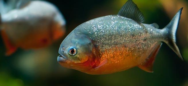 Nhung dong vat dang so nhat rung Amazon (phan 2) hinh anh 5 Cá Piranha bụng đỏ: Đây có lẽ là loài nổi tiếng nhất của Amazon và từng xuất hiện trong nhiều bộ phim kinh dị của Hollywood. Chiều dài của chúng có thể lên tới 30 cm với hàm răng sắc nhọn và thường tụ thành bầy lớn. Tuy là loài ăn xác chết, cá Piranha bụng đỏ không ngần ngại tấn công động vật sống nếu quá đói hoặc bị kích động.