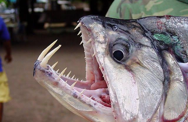 Nhung dong vat dang so nhat rung Amazon (phan 2) hinh anh 6 Payara (Cá ma cà rồng): Chúng là động vật săn mồi hung dữ với chiều dài lên tới 1,2 m và răng nanh có thể dài tới 15 cm. Con mồi chính của chúng là cá Piranha, điều đó đủ để cho thấy loài cá này đáng sợ tới mức nào.
