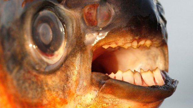 Nhung dong vat dang so nhat rung Amazon (phan 2) hinh anh 7 Pacu: Đây là một họ hàng của Piranha với hàm răng giống như con người. Điều đáng sợ là cá Pacu có sở thích đặc biệt với tinh hoàn nam giới. Nhiều trường hợp con người đã bị cá Pacu tấn công và thậm chí là tử vong. Hiện nay cá Pacu không chỉ có ở Amazon mà đã lan sang châu Âu.