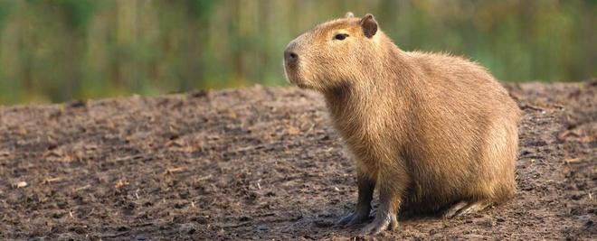 Nhung dong vat ky di cua rung Amazon hinh anh 6 Capybara: Capybara là loài gặm nhấm lớn nhất thế giới, với trọng lượng lên tới 90 kg. Chúng là động vật sống theo nhóm từ 10-20 con. Là con mồi yêu thích của trăn Nam Mỹ, báo đốm, cá sấu... chúng có tuổi thọ trung bình chỉ khoảng 4 năm. Loài động vật ăn cỏ này khá hiền lành, không làm hại đến con người.