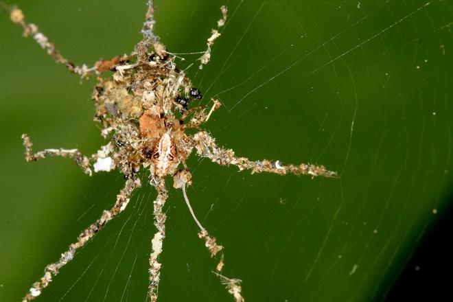 Nhung dong vat ky di cua rung Amazon hinh anh 4 Nhện nghi trang: Mới được phát hiện gần đây, loài nhện này được cho là thuộc giống Cyclosa. Chúng khá nhỏ, chỉ dài khoảng 5 mm, nhưng lại dùng lá khô và các nguyên liệu khác tạo ra hình một con nhện to hơn nhiều trên lưới.