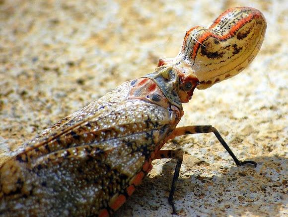 Nhung dong vat ky di cua rung Amazon hinh anh 2 Bọ đầu củ lạc: Loài côn trùng lạ lùng này có đầu giống một củ lạc chưa bóc vỏ. Nguyên nhân của đặc điểm này vẫn chưa được làm sáng tỏ, dù các nhà khoa học cho rằng có thể nó mô phỏng đầu của một con thằn lằn, nhằm đánh lạc hướng những loài săn mồi. Loài côn trùng này không có khả năng tự vệ. Ảnh: Projectnoah.