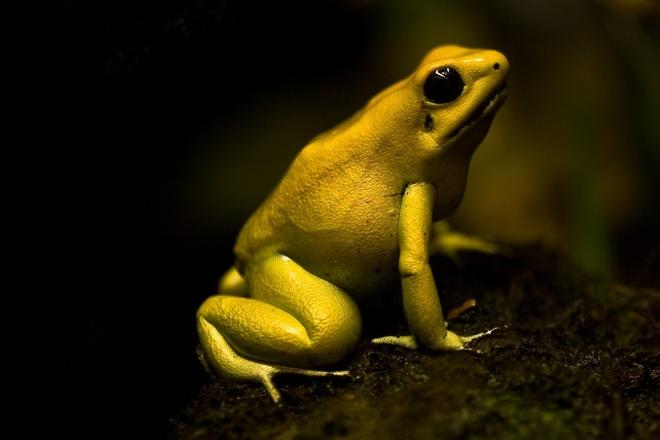 Nhung loai vat kich doc du khach can tranh hinh anh 1 Ếch vàng: Loài ếch này chỉ to bằng ngón tay cái nhưng bạn nên tránh xa chúng. Da chúng chứa một chất độc thần kinh đủ để giết chết hai con voi hoặc 10 người. Thổ dân dùng nhớt của chúng để tẩm vào phi tiêu đi săn hoặc chống lại kẻ thù. Loại ếch nguy hiểm này sinh sống trong rừng nhiệt đới từ Brazil tới Peru. Các du khách đi leo núi tại các vùng đất này nên thận trọng khi gặp phải chúng.