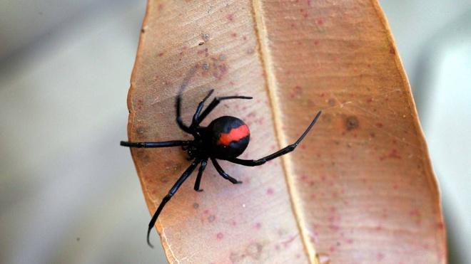 Nhung loai vat kich doc du khach can tranh hinh anh 5 Nhện lưng đỏ: Nhện lưng đỏ đực có chiều dài khoảng 4 mm, nhện cái khoảng 10 mm. Đây là loài bản địa của Australia, hiện nay đã lan sang New Zealand, Bỉ và Nhật Bản qua xuất khẩu hoa quả. Nọc của chúng chứa một chất độc thần kinh. Loài nhện này có thể điều chỉnh lượng độc tiêm vào đối tượng tấn công. Do đó, có trường hợp chỉ bị ngứa và mẩn đỏ, còn nhiều người lại bị cứng cơ, nôn, toát mồ hôi và sưng tấy ở vùng bị cắn.