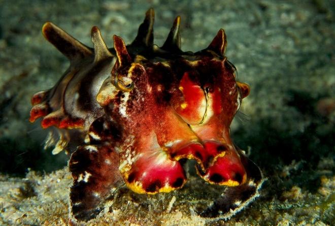 Metasepia pfefferi: Loài mực nang này được tìm thấy ngoài khơi Australia, Philippines, New Guinea, Indonesia và Malaysia. Dù có kích cỡ nhỏ bé (chỉ khoảng 5-7 cm), Metasepia pfefferi là loài săn mồi, thu hút những con cá bằng khả năng đổi màu trong chớp mắt. Đừng để vẻ ngoài đẹp đẽ đánh lừa, chúng có chất độc mạnh không thua kém gì bạch tuộc đốm xanh.