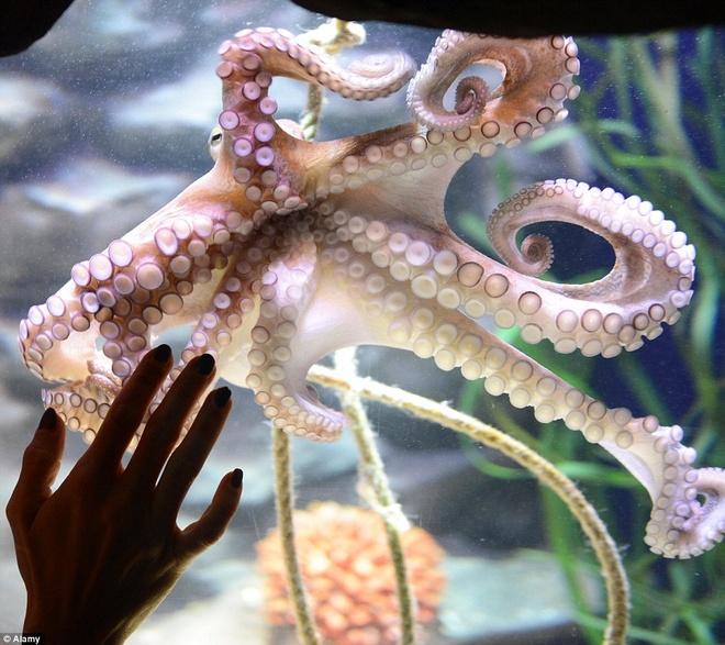 Be ca co ca thang may ben trong hinh anh 13 Một con bạch tuộc ở bể thủy sinh. Cựu vô địch quyền Anh thế giới, Regina Halmich, mở triển lãm Hang Bạch Tuộc (Octopus Cave), cho du khách chiêm ngưỡng 5 loài bạch tuộc.