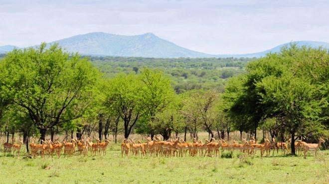 Vườn quốc gia Serengeti, Tanzania: Đây là vườn quốc gia lâu đời và nổi tiếng nhất ở Tanzania. Serengeti được biết đến là nơi lưu trữ các loài động vật di cư có vú trên cạn lớn nhất trên thế giới. Ngoài ra, còn có thảo nguyên xanh tuyệt đẹp cùng với hơn 70 loài động vật có vú (bao gồm voi, trâu, sư tử, hươu cao cổ,…) và 500 loài chim, cũng như phong cảnh đầy màu sắc tuyệt đẹp.