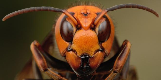 Du khách nên tránh xa tổ của chúng để không bị nhiều con tấn công. Thường thì ong bắp cày chỉ đốt khi bị kích động. Đừng bỏ chạy, vì chúng bay nhanh hơn bạn chạy nhiều và mục tiêu di chuyển càng kích thích chúng tấn công. Hãy ngồi xuống, bất động và cố gắng che đầu lại. Nếu bị đốt, hãy tới bệnh viện hoặc nhờ trợ giúp y tế ngay lập tức.