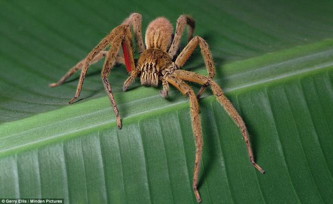 Nam Mỹ - nhện lang thang Brazil, rết Scolopendra, ếch phi tiêu độc, cá nóc: Nhện lang thang Brazil không phải loài nhện độc nhất, nhưng vô cùng hung dữ. Chúng là một trong số ít loài sẵn sàng tấn công con người, với nọc chứa chất độc thần kinh gây đau đớn và có thể dẫn tới chết người. Tác dụng phụ của loại nọc độc này là gây cương cứng nhiều giờ ở nam giới. Khi bị chúng cắn, tốt nhất bạn nên tới bệnh viện gần nhất để được điều trị.