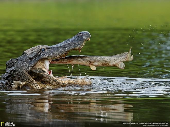 Cá sấu nước mặn sinh sống ở Australia và một số vùng Đông Nam Á, là loài bò sát lớn nhất thế giới, với chiều dài có thể lên tới hơn 6 m. Ít người có thể sống sót khi đụng độ loài này. Chúng cắn thật mạnh, sau đó lộn người để dứt tảng thịt ra trước khi nuốt chửng. Ở Australia, nhiều khu vực có biển báo cấm xuống nước, nhưng điều đó không có nghĩa là nơi không có biển sẽ an toàn. Nếu đi bộ, bạn nên tránh xa mép nước, dù đi cắm trại hay câu cá.