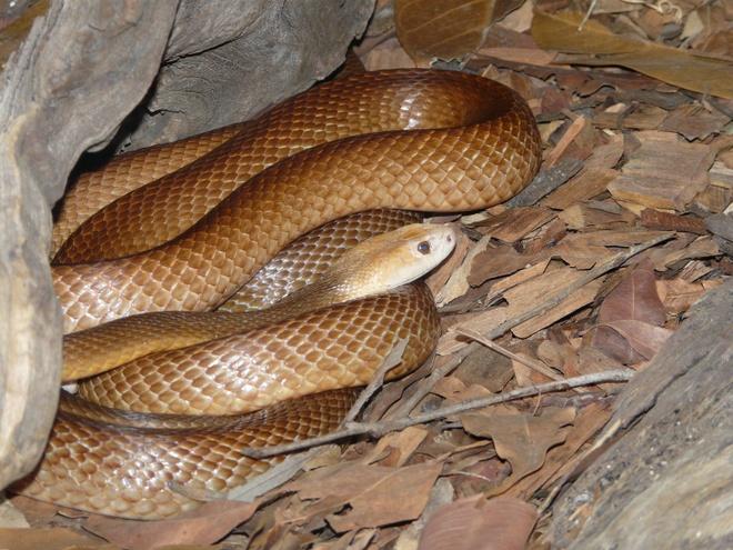 Australia có 3 trong số những loài rắn độc nhất thế giới, với rắn Taipan nội địa xếp vị trí đầu bảng. Loài rắn này khá nhút nhát và thường tránh xa người. Tuy nhiên, loài rắn Taipan Queensland lại khá hung dữ, với nọc độc trong một vết cắn đủ để giết chết 100 người trưởng thành. Nếu không may bị cắn, bạn hãy nhanh chóng tới bệnh viện gần nhất để được tiêm huyết thanh giải độc. Ảnh: Zoochat.