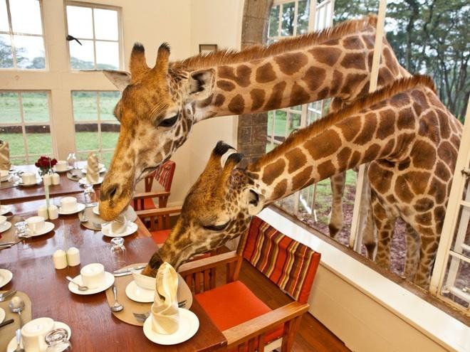 Giraffe Manor (Kenya): Tọa lạc giữa Nairobi và khu bảo tồn đồi Ngong, Giraffe Manor có 10 phòng sang trọng và những chú hươu cao cổ thân thiện. Chúng thường xuất hiện chào khách vào buổi sáng.