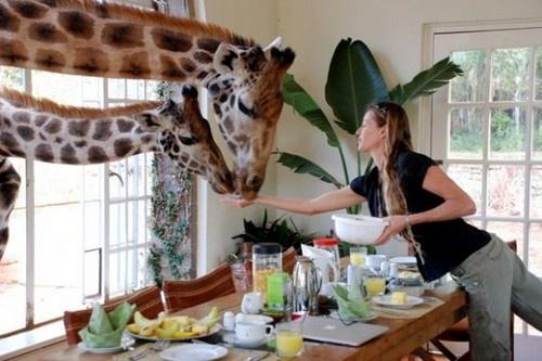 7. Khách sạn hươu cao cổ ở Kenya: Ngay từ sáng sớm, hươu cao cổ đã nô đùa xung quanh khách sạn. Thức ăn được đặt ở tất cả các cửa sổ và cửa ra vào của khách sạn. Điều này đem đến một sự tương tác tuyệt vời giữa du khách với các loài động vật.