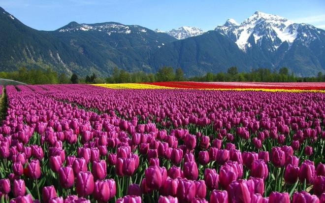 Ve dep cua 10 quoc gia thinh vuong nhat the gioi hinh anh 8 8. Hà Lan: Ngoài những cánh đồng hoa tuyệt đẹp, Hà Lan còn được đánh giá cao nhờ giáo dục, y tế và tự do. Ảnh: Goodwp.